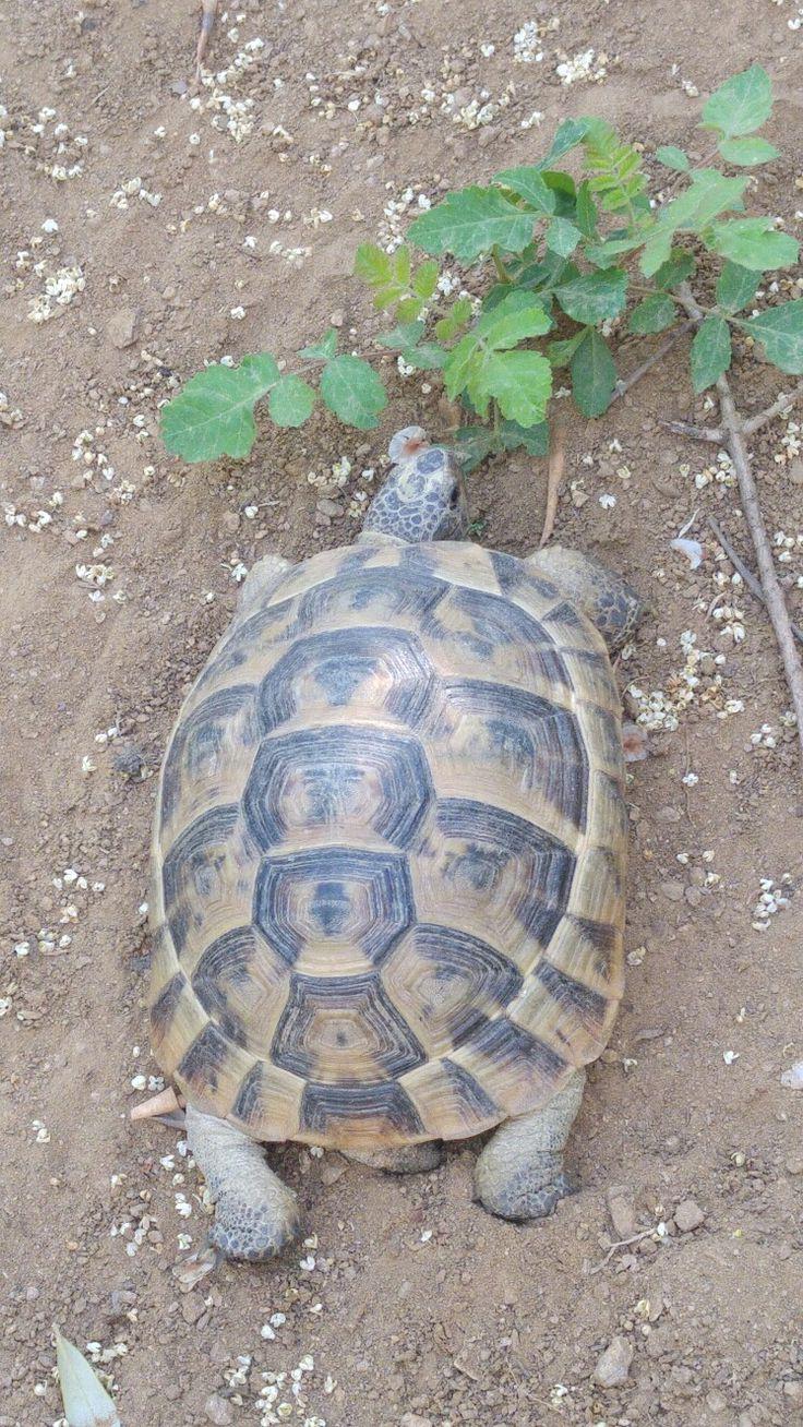 Tosbağa#turtle