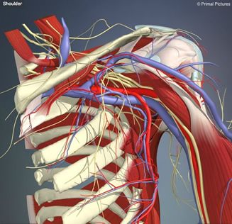 Influence of shoulder pain on muscle function: implications for the assessment and therapy of shoulder disorders - #ShoulderTips
