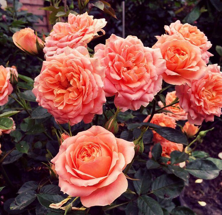 A Forever Flowering Rose Bush Gorgeous