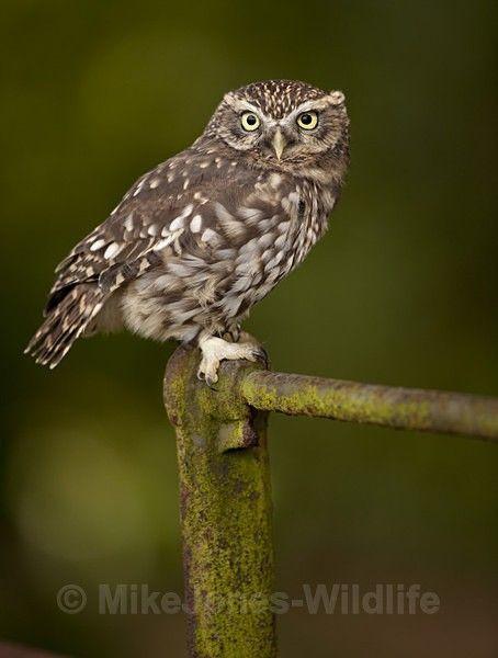 LITTLE OWL / REF LO 3 - LITTLE OWL                                                                                                                                                                                 More