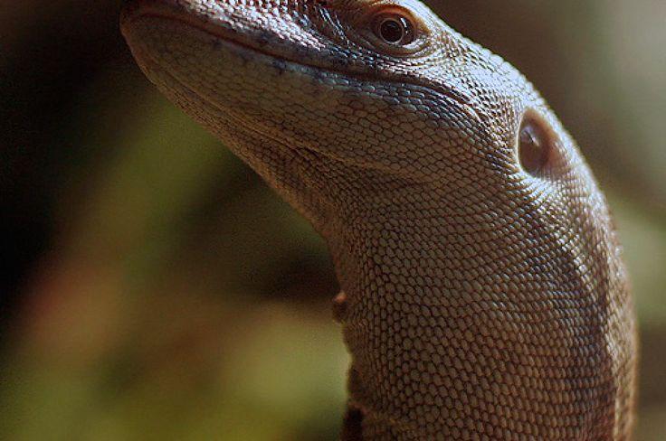 Mertens Monitor Lizard