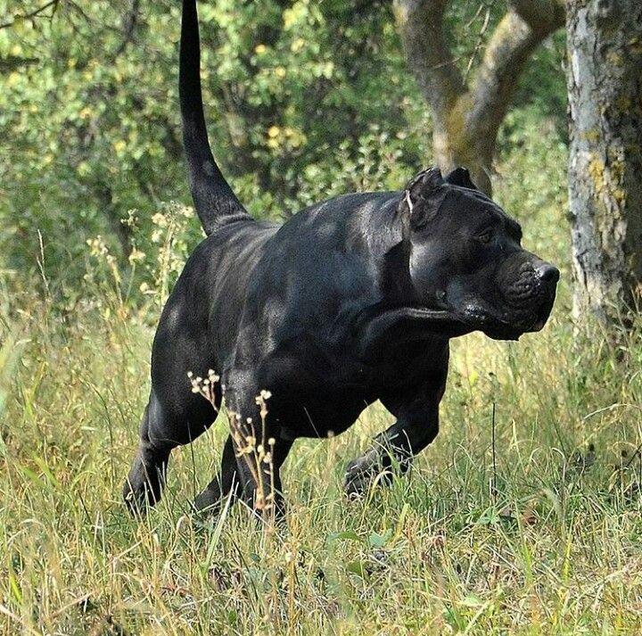 1000 images about presa canario on pinterest large