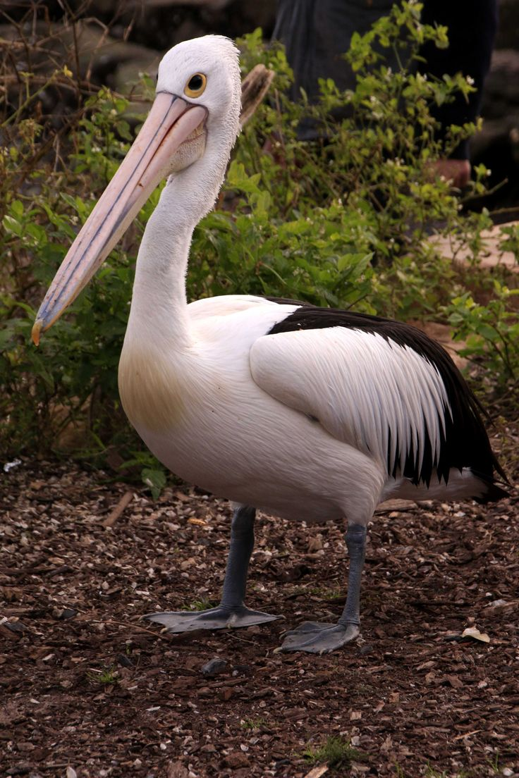 Still taking pelican photos. Hawkesbury River, New South Wales.
