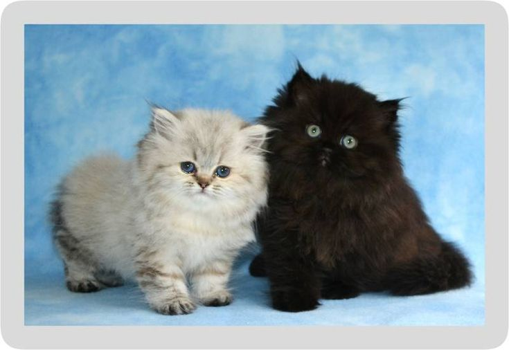 These teacup Persian kittens are so adorable! I especially love the white one with the blue eyes. My daughter asked for a kitten for her birthday next month, and we don't want to get anything too big because our house only has two bedrooms. Something like this would be perfect!
