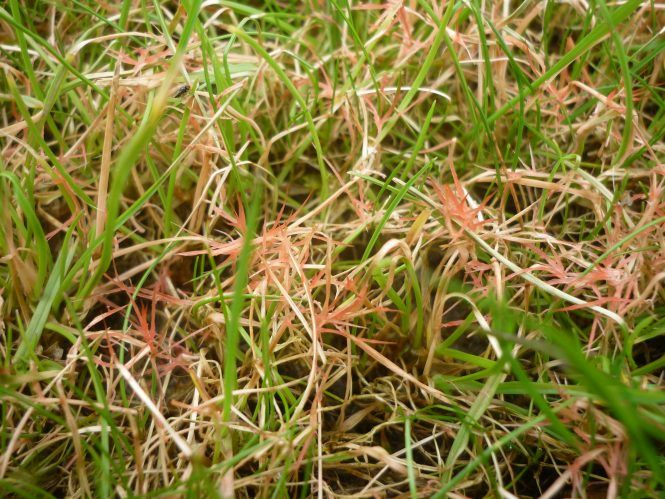 The Intertwining Of Red Thread Fungus Laetisaria Fuciformis With Grass Leaves Lawn Rye Grass Lawn Care