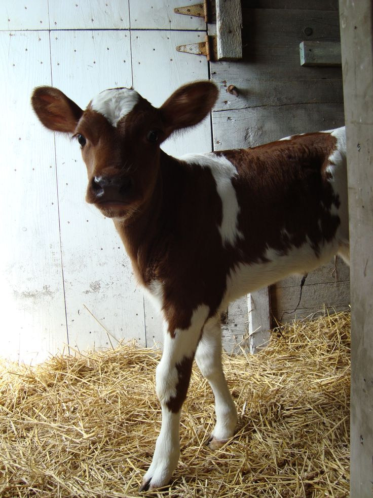 ...Baby calf.. not veal.. the process is just too inhumane.. horrific for a baby anything to endure