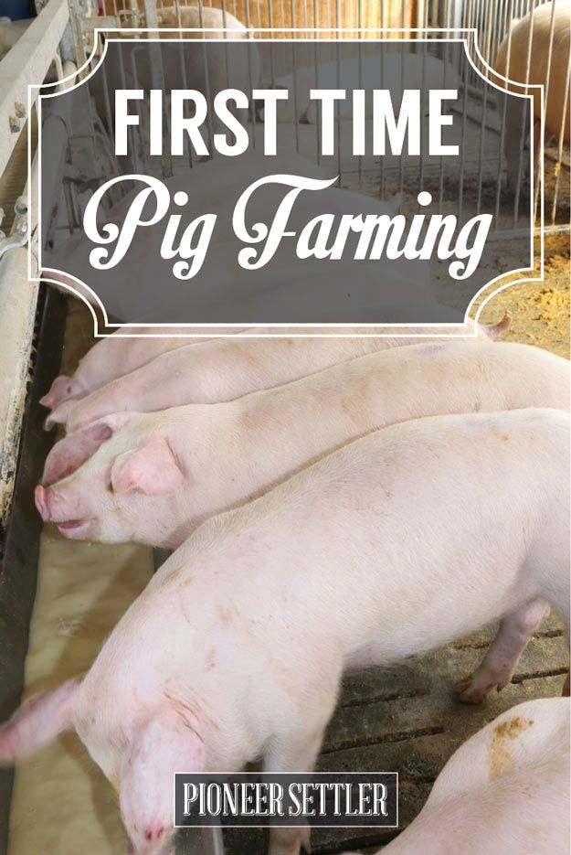 Check out Adventures in Pig Farming | One Man's First Hand Experience With What He Thought Were Female Pigs... at http://pioneersettler.com/first-time-pig-farming-adventures/