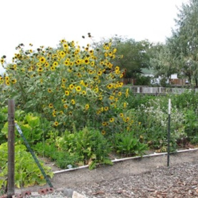 Sunflower Garden Ideas i think ill plant a few mammoth sunflowers right in the middle of my Fruit Veggies And Sunflower Garden