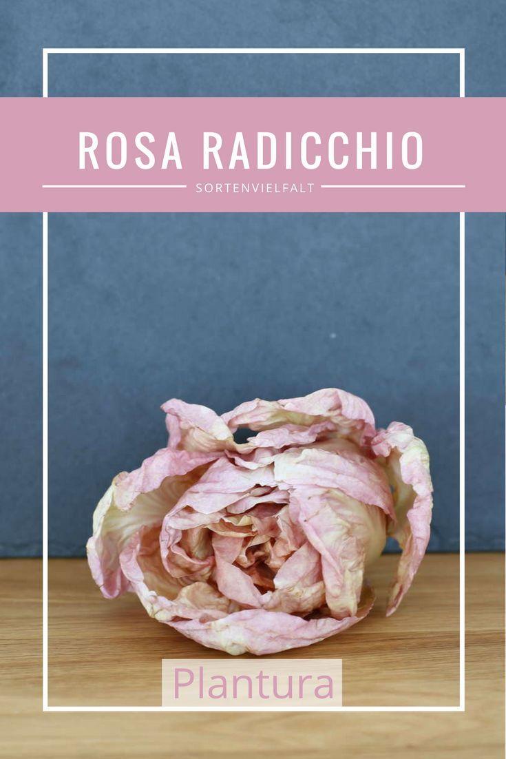 Dieser Radicchio ist nicht nur ein Gaumenschmaus, sondern auch ein wunderschöner Anblick für die Augen. Wegen seiner besonderen Farbe wird der rosa Radicchio auch der Mädchenradicchio genannt. Mehr zu den verschiedenen Radicchiosorten erfahrt Ihr auf Plantura!