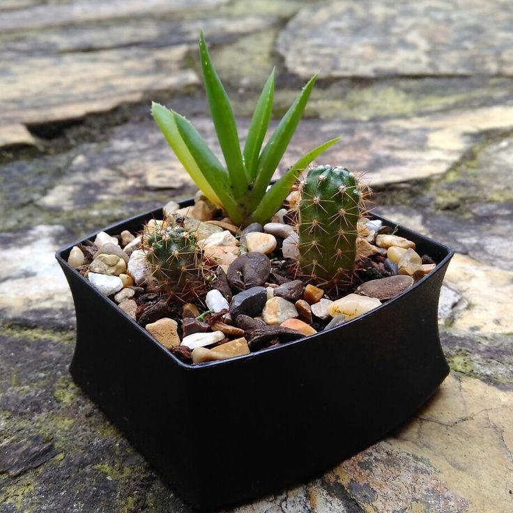 Terrario con sábila y cactus en tapa plástica reutilizada
