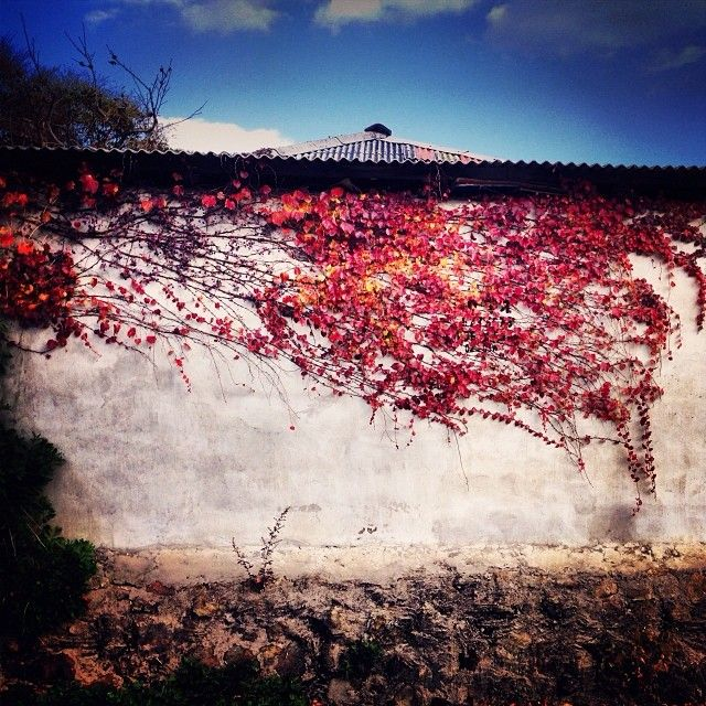 .@june_color | #담장 #벽 #골목 #단풍 #낙엽 #잎 #담 #풍경 #시골 #집 #가을 #계절 #autumn #fall... | 2013 12 06 /