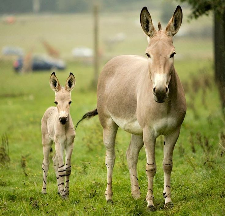 For the first time ever at Woburn Safari Park in England, not just ...