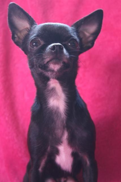 Black Chihuahua - Standing up like a big boy!  Looks like my little Jasper.  Adorable guy.