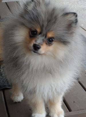 Blue Merle Pomeranian by eliza