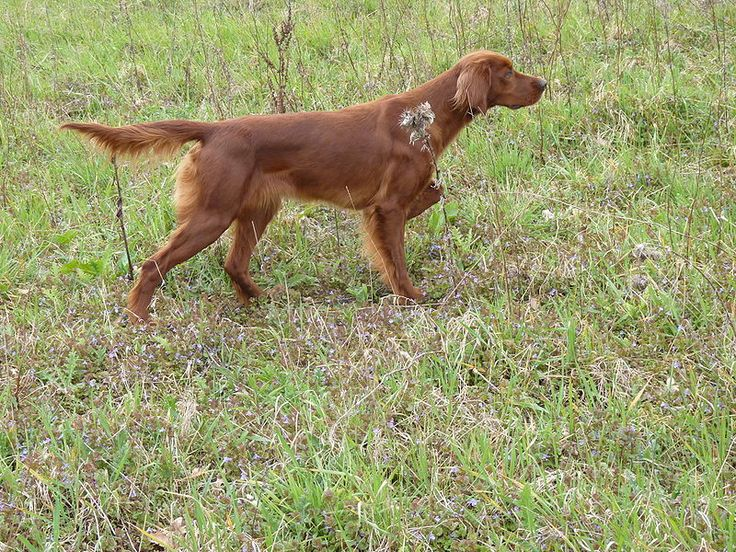 I would love to have a red dog to hunt over one day