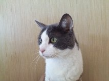 Gillian is an adoptable Domestic Long Hair - Gray And White Cat in Albany, NY. Gillian (Gigi) is a super-sweet girl who needs a forever home. She is VERY affectionate, loving and a great 'lap-cat!' Sh...