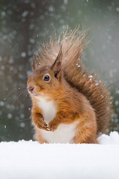 Red Squirrel. All the red squirrels in Scotland hid from me again.