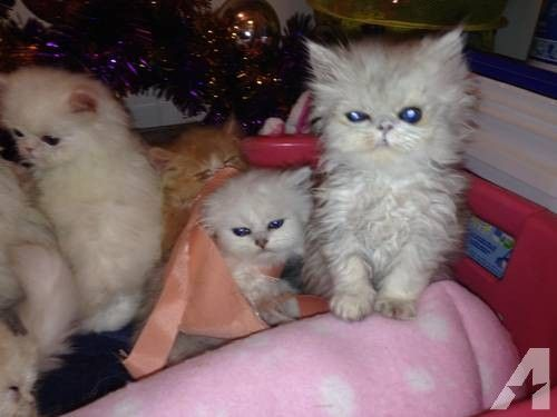 Persian kittens for sale in south yorkshire