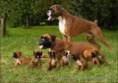 BoxersBoxers Puppies, Boxers Dogs, Boxers Love, Families Dogs, Happy Families, Families Photos, Families Portraits, Boxers Families, Animal