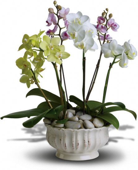 Regal Orchids Plants, Regal Orchids Plant Basket - Teleflora.com - A trio of colorful orchids is an elegant way to wish someone well. Presented in a beautiful white ceramic planter are three miniature phalaenopsis orchid plants. The white, lavender and green orchids sit peacefully in a bed of smooth, Zen river rocks.
