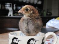 Wagtail litho mug by Emma Bridgewater