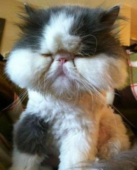 he's not swollen...just a shaved Persian cat!!!