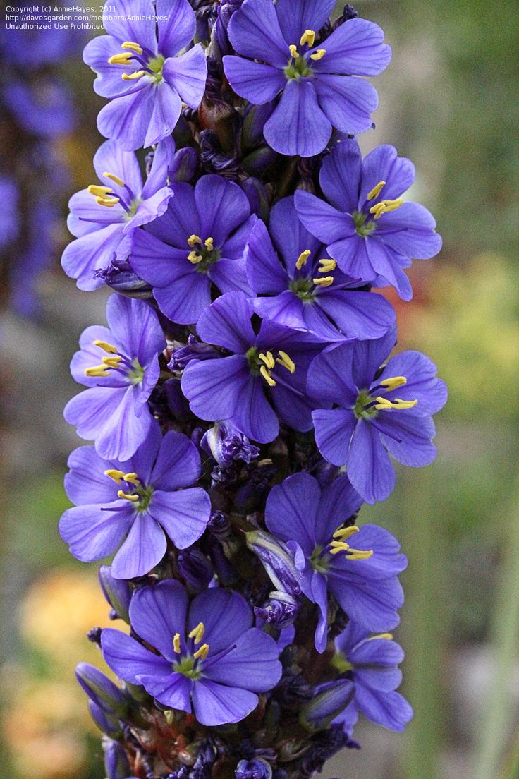 60 best south african bulbs and perennialsmostly blue and white a clumping perennial with tall green sword like leaves in spring tall spikes grow clustered with intense blue flowers very showy dhlflorist Images