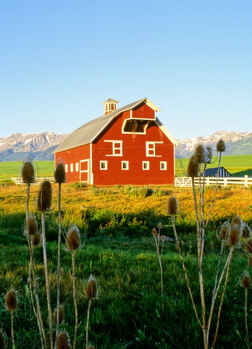 Red Barn With THISTLES In The Foreground...OREGON. Wallowa County to be exact!