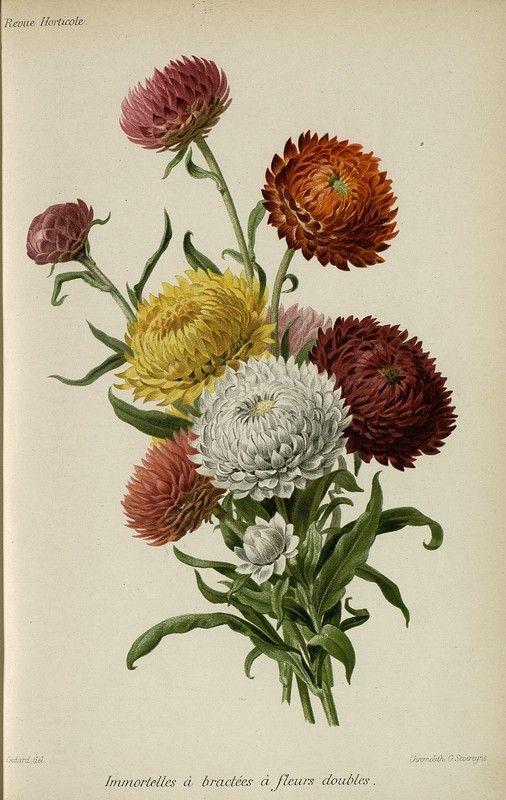 SNHF | Immortelles à bractées à fleurs doubles