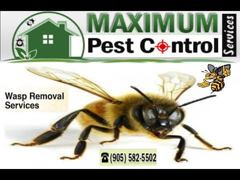 Wasp Removal services Oakville Ontario http://ift.tt/1eIZPl4 are services that will help you get rid of wasp problems in your home or business. They can setup nests anywhere though these are more likely to accomplish that in the summer season also to find dark and moist areas to achieve it. You can find them appearing in bushes by way of example as part of your loft or roof or even in large trees within neighbor next door garden. Get rid of wasps problems fast calling (905) 582-5502.