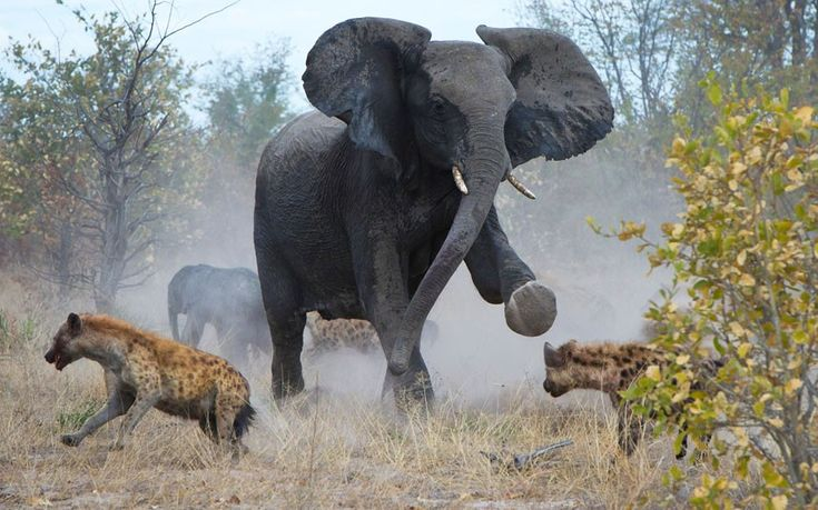 Africa | A protective elephant mother fights off a pack of hyenas to protect her calf. | © James Weis