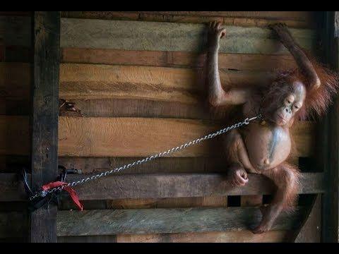 Baby Orangutan Spent 6 Months Chained To Someone�s Kitchen Shelf !