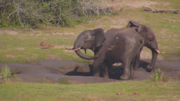 Elephants enjoy the mud at Tembe - May 17 2016 - 1:30pm  Africam
