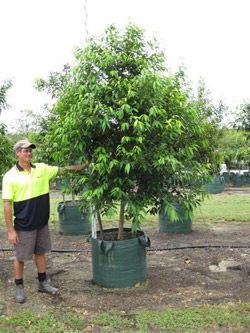 Waterhousia Floribunda - Weeping Lilly Pilly - Paul Bangay suggests hedging this tree.