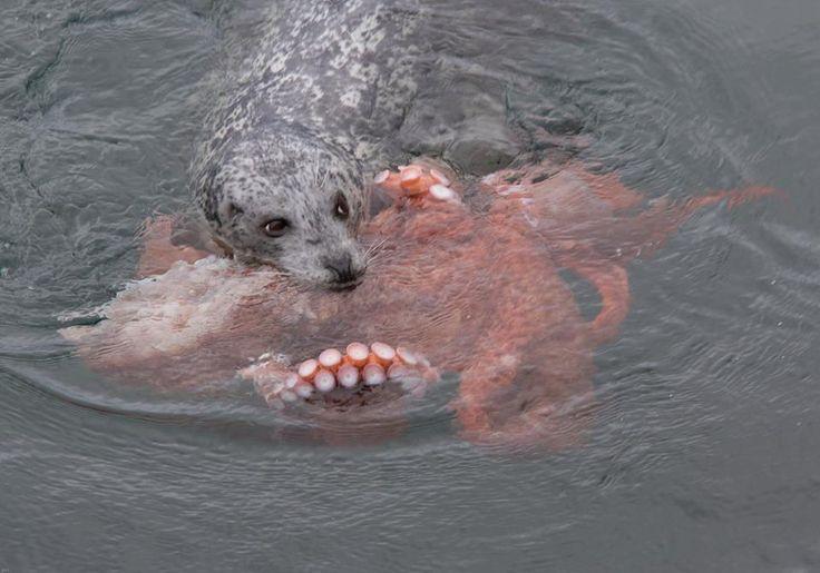 거대 문어와 사투에서 이긴 바다표범(사진)