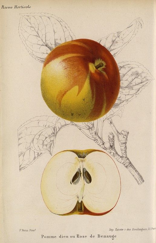 SNHF | Pomme dieu ou Rose de Benauge