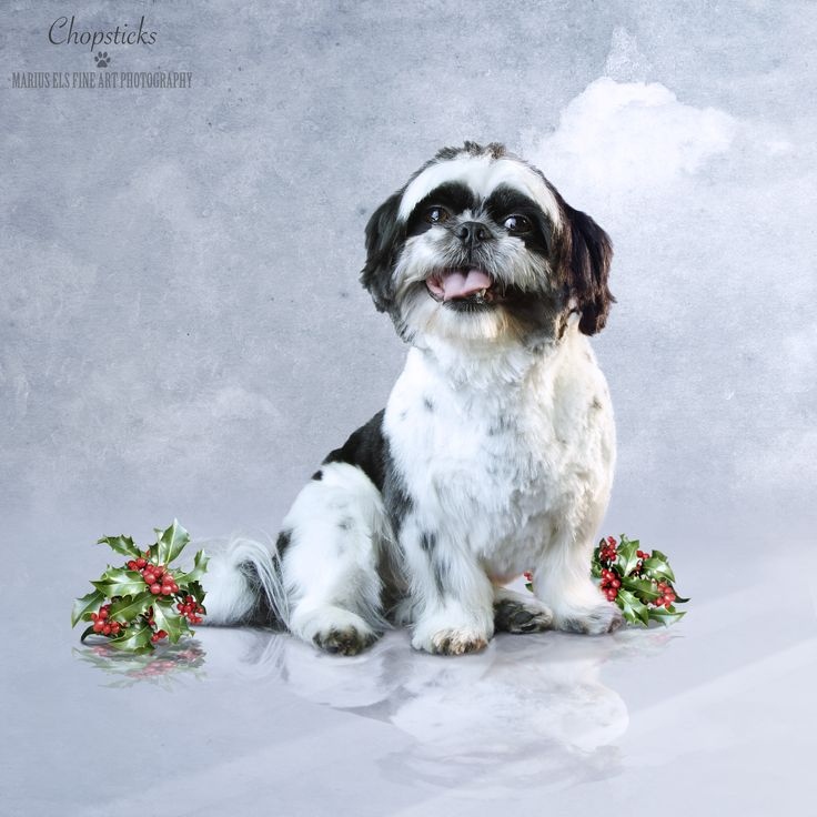 Chopsticks - Shih Tzu for December of our Doggie Calendar