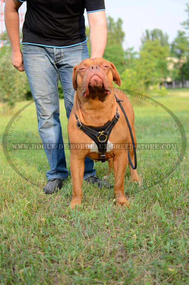 This Mastiff are very proud to wear our #Cool #Leather #Dog #Harness $59.90