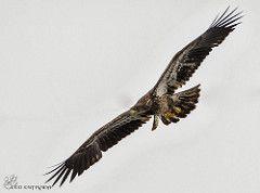 Juvenile Bald Eagle banded.