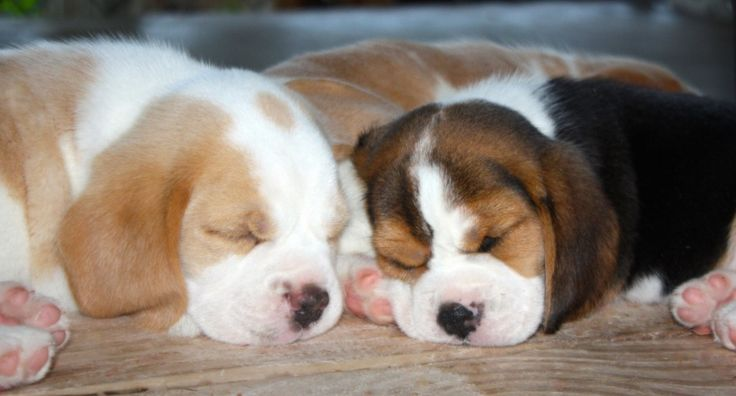 Available Puppies | Beagles for sale in Georgia | Bauer Beagles