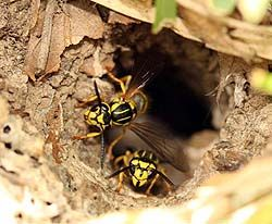 Learn how to get rid of yellow jackets on your own. Whether they are in the ground or around your home, these tips will help exterminate yellow jackets.