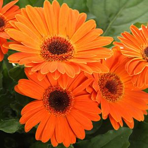 Buy Gerbera Ezdazy Tangerine Annuals Online. Garden Crossings Online Garden Center offers a large selection of Gerbera Plants. Shop our Online Annual catalog today.
