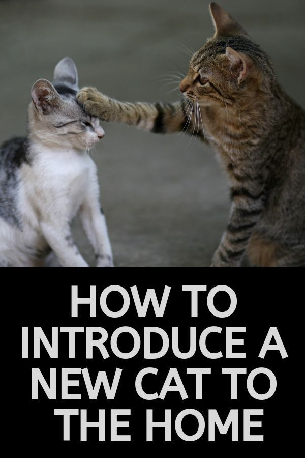 How To Introduce New Cats 9 Simple Steps Cat Care Introducing A New Cat Cat Training