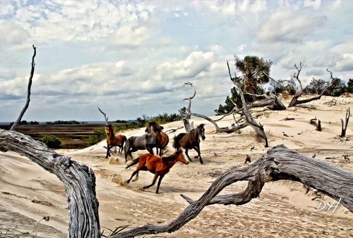 3. Observación de los caballos salvajes de la isla de Cumberland: