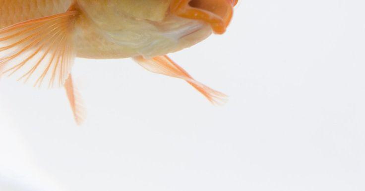 Cómo saber si un pez dorado está enfermo. Existen varias razones por las que has elegido tener a un pez dorado como mascota. Mirar el acuario es relajante. Un pez dorado requiere menos atención que las mascotas tradicionales. Tienes la libertad de irte lejos por unos días y no tener que preocuparte por el cuidado de tu mascota. Sin embargo, tu pez dorado sigue siendo tu mascota y quieres ...