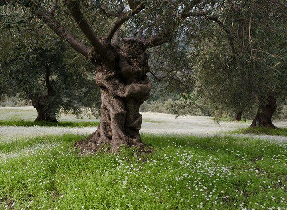 Jean Bienvenu  -   Photography | Recent Work | Olive grove