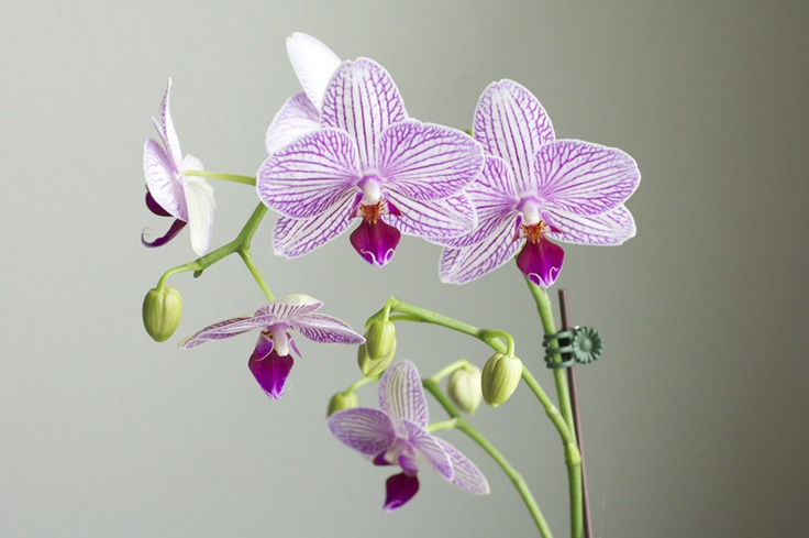 380 best images about orchids phalaenopsis on pinterest cambridge england orchid flowers and. Black Bedroom Furniture Sets. Home Design Ideas