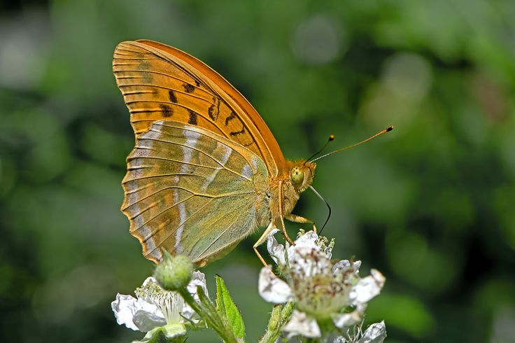 BugsAlive posted a photo:  Mont Lozère, Parc National des Cévennes, Lozère, France  Family : Nymphalidae  Subfamily : Heliconiinae  Species : Argynnis paphia  This is another very widespread species that is found throughout most of Europe, the Caucasus, Russia, Turkey, Iran, parts of Central Asia, China, Taiwan, Japan, Korea, and India. It is a powerful flier and one of the larger fritillaries with a wingspan of 70-80mm. The species is sexually dimorphic with the upper wings of the male…