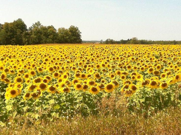 Beautiful field of sunflowers near Port Elgin Ontario - taken by a friend