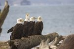 Eagles Birds   Funny picture of Bald Eagles birds sitting on driftwood along the beach.